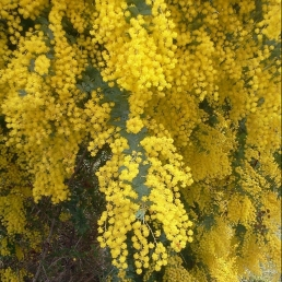 2011-08-08 Flowering Wattle