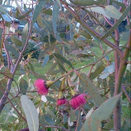 2014-07-04 River Gum Flowers