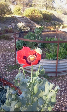 2014-10-11 Big Red Poppy