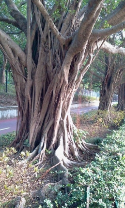 Fig tree on the banks of the Shing Mun River, Sha Tin.