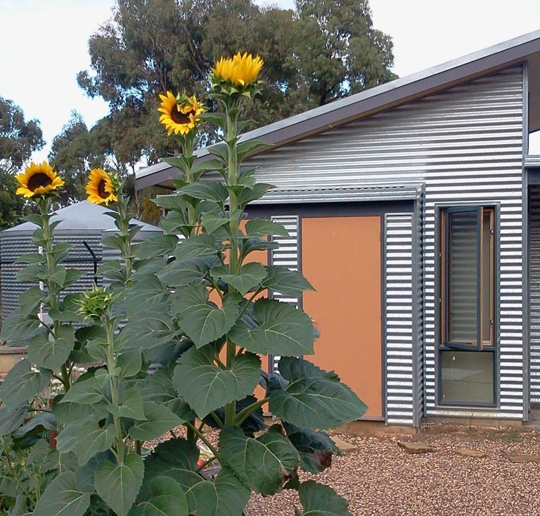 2018-01-29 Box Hill Sunflowers 2