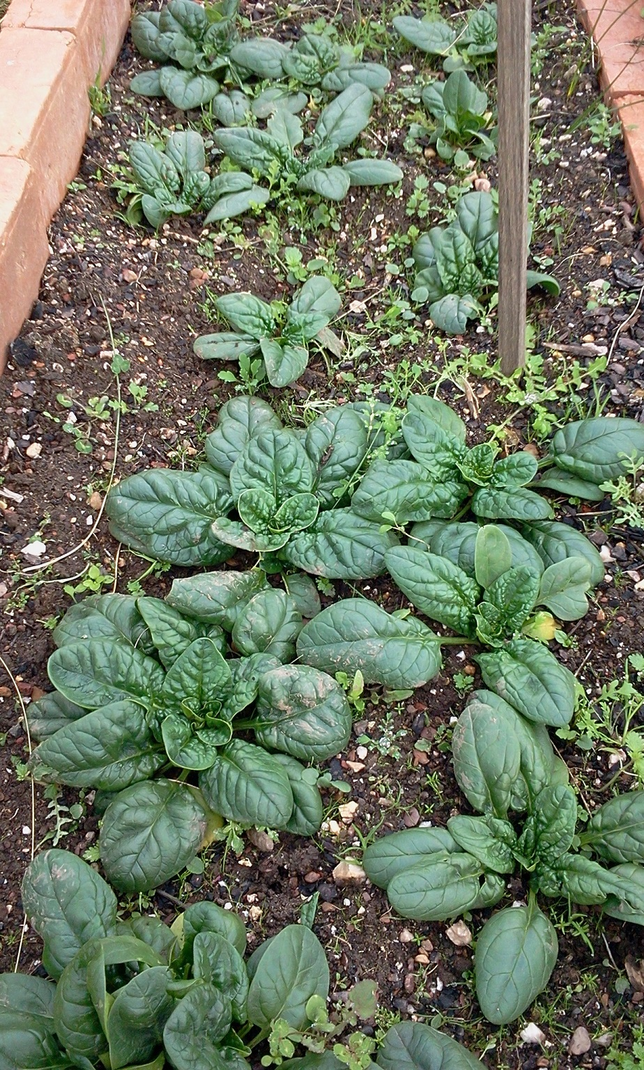 Autumn Spinach May 2018