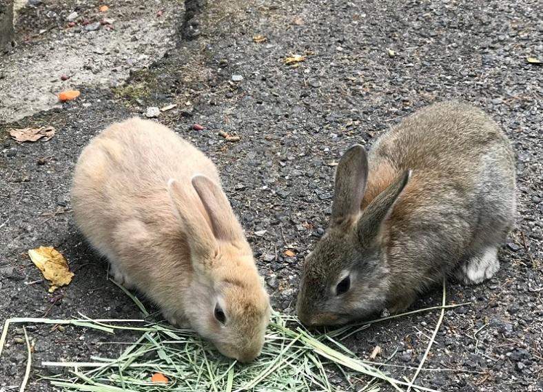 Ōkunoshima Rabbits