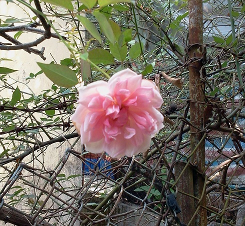 2018-11-22 tuen mun trail rose resized