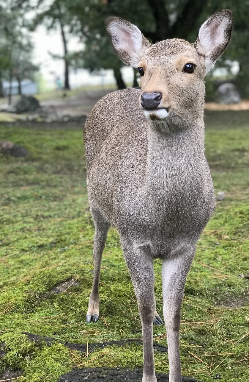 japanese deer_evette kwok_31 dec 2018