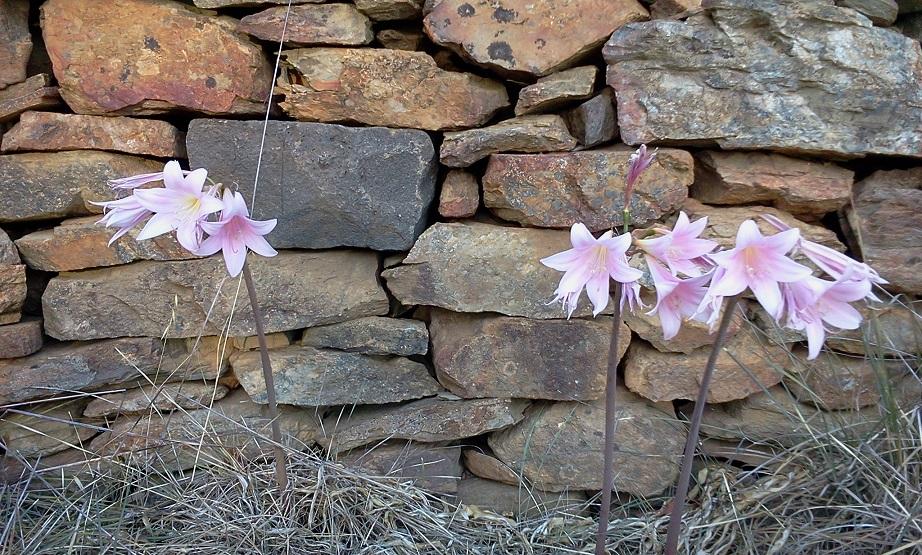 Belladonna Lilies_27 FEB 2019
