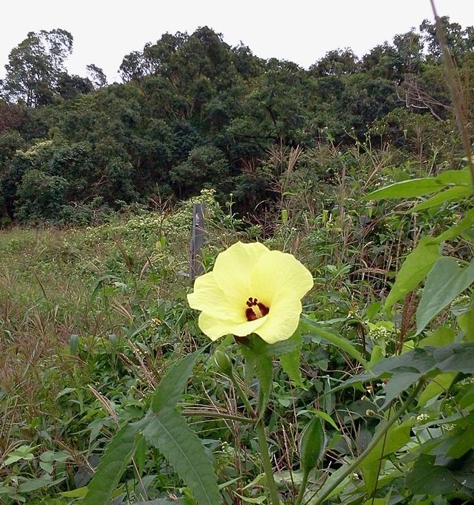 2018-11-26 Sai Kung Sha Kok Mei Yellow Flower TWO