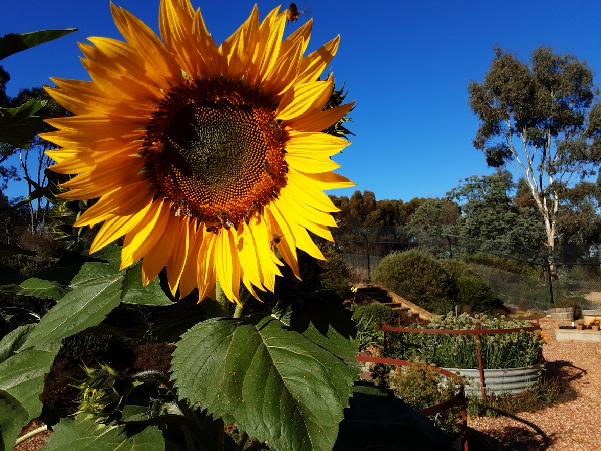 Sunflower & Bees LANDSCAPE_21 MAR 2020
